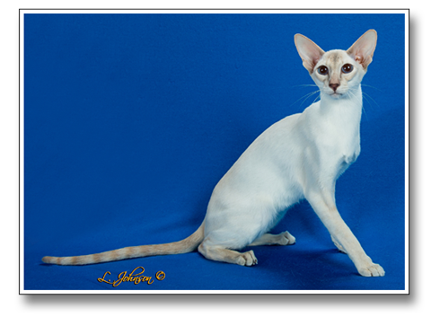 Blakewood Colorpoint Shorthairs